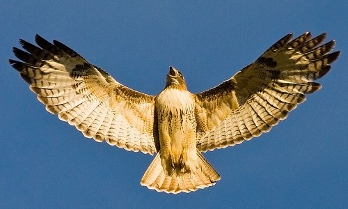 red-tailed-hawk-wings